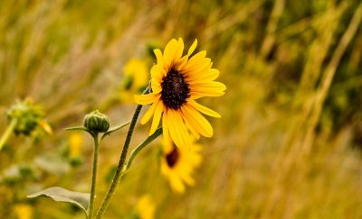 Common Sunflower Header