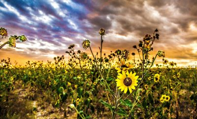 sunflowers-with-sunset