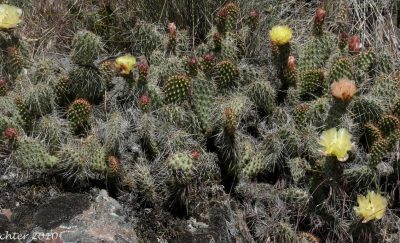 Starvation Prickly-Pear