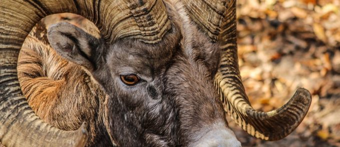bighorn-ram-male-horns-rocky-mountain-bighorn-sheep-64211