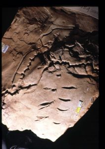 Trace fossil, Arichonmorphicus Fosso